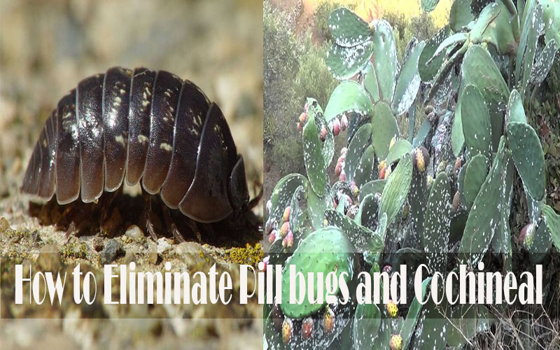 How to Eliminate Pill bugs and Cochineal From Your Garden