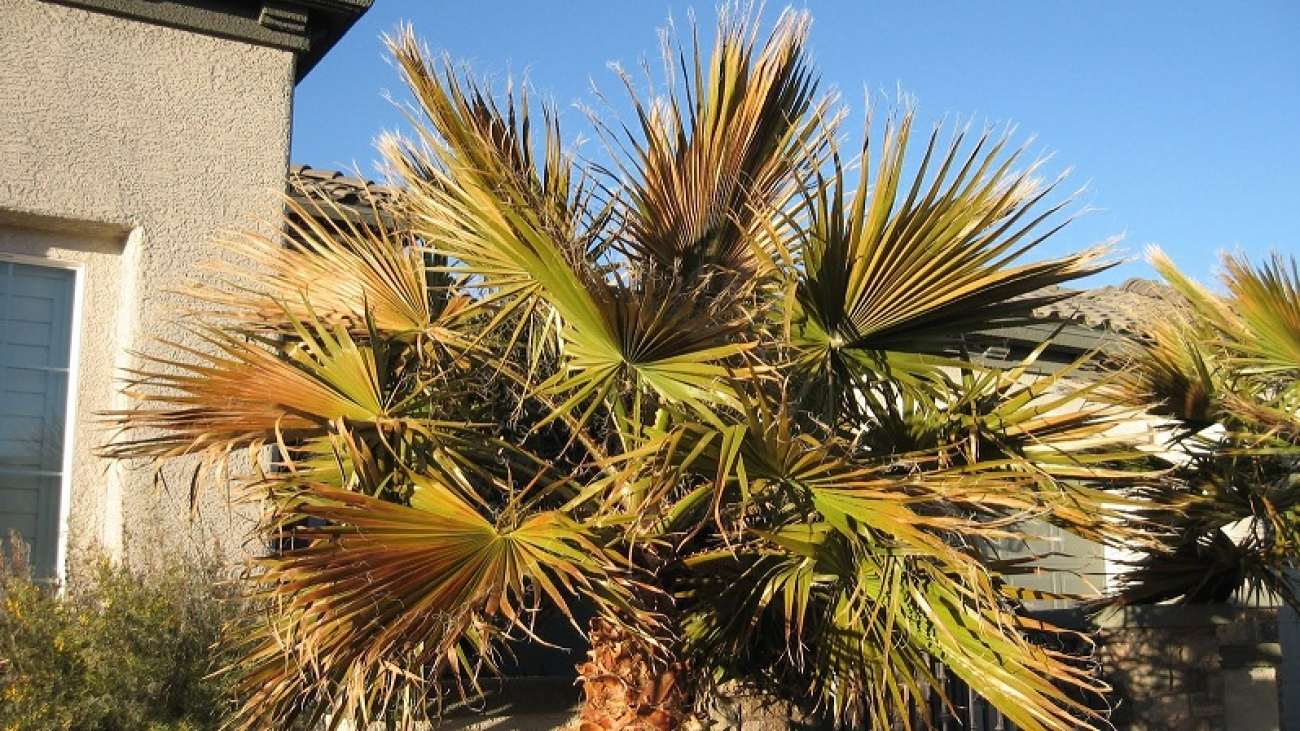 How to Treat The Red Palm Weevil in Palm Trees?