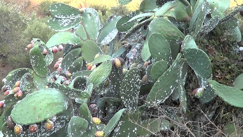 How to eliminate the cochineal?