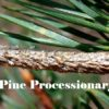 Pine Processionary