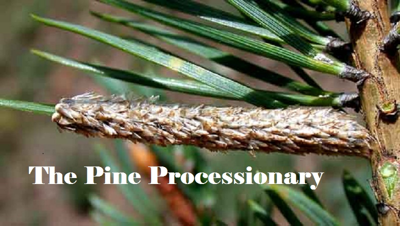 The Pine Processionary: What is It and How to Eliminate It?