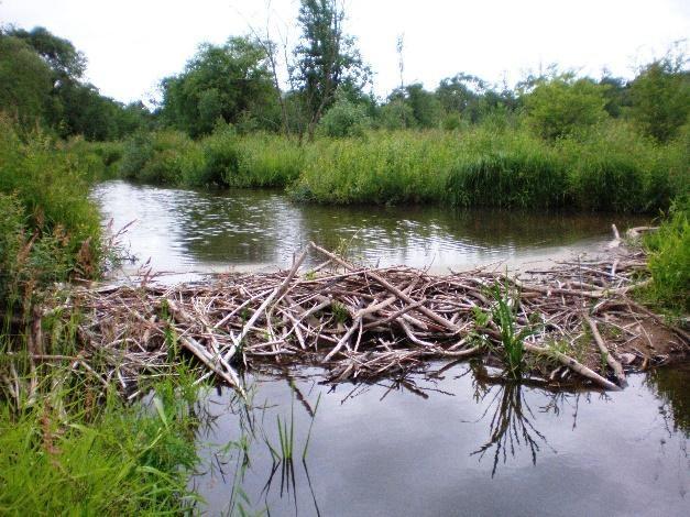 Beavers Building beautiful dams