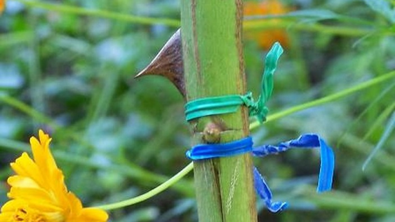 how to graft roses
