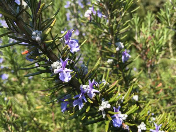 how to care for rosemary outdoors