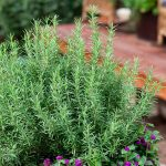 how to care for rosemary indoors