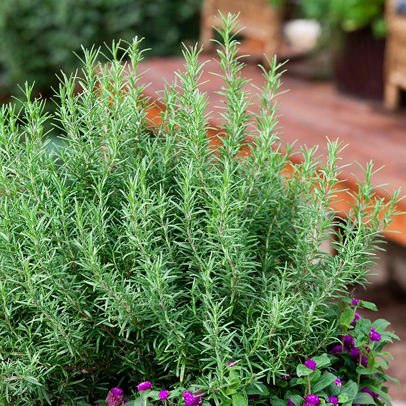 How to Care for Rosemary Indoors and Outdoors