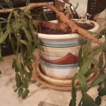 Christmas cactus wilting: Why it happens and what to do?